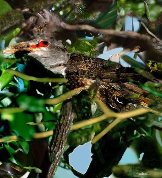 6Storm-Cuckoo